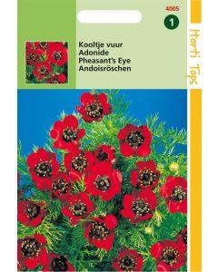 Hortitops Adonis Aestivalis Roodbloeiend