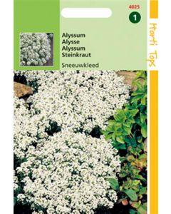 Hortitops Alyssum (Lobularia) Mar. Procumbens Sneeuwkleed